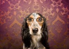 Hond met glazenportret Stock Foto's