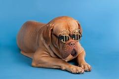 Hond met grappige glazen met het teken van de dollarmunt Stock Foto