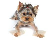 Hond met grote ogen Royalty-vrije Stock Foto