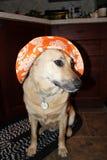 Hond met hoed Stock Foto