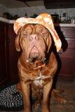 Hond met hoed Royalty-vrije Stock Afbeelding