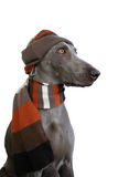 Hond met hoed en sjaal Stock Foto
