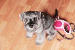 Hond met intrekbaar leibandwachten om te gaan gang stock afbeeldingen