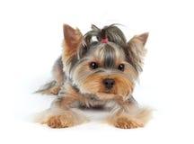 Hond met kapsel Stock Foto's
