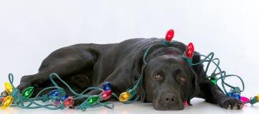 hond met Kerstmislichten royalty-vrije stock afbeeldingen