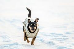 Hond met kleren op sneeuw in werking die worden gesteld die stock foto