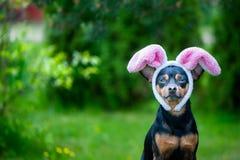Hond met konijnoren, thema van maskerade, Pasen Natuurlijke groen stock fotografie