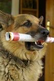 Hond met krant Stock Afbeeldingen