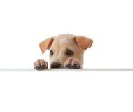Hond met lege beer Stock Afbeelding