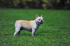 Hond met litteken Royalty-vrije Stock Foto