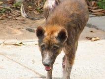 Hond met melaatsheid Stock Foto's