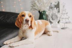 Hond met nieuwe jaardecoratie Stock Afbeeldingen