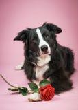 Hond met roze Stock Foto's