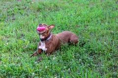 Hond met roze stuk speelgoed in het de zomerpark Stock Afbeeldingen