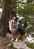 Hond met Rugzak Stock Afbeeldingen