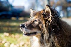 Hond met starende blik Stock Afbeeldingen