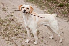 Hond met stok Stock Foto's