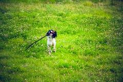 Hond met stok die op het gras lopen Stock Fotografie