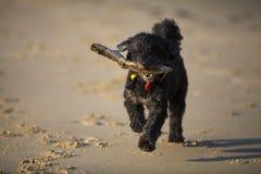 Hond met stok op strand Stock Foto's