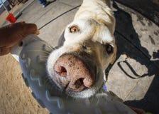 Hond met stuk speelgoed extreme dichte omhooggaand Stock Afbeeldingen