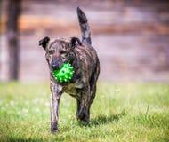 Hond met stuk speelgoed in werking dat wordt gesteld dat Royalty-vrije Stock Afbeelding