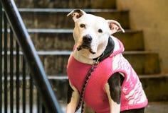 Hond met sweater Stock Afbeeldingen