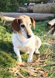 Hond met tekeningen Royalty-vrije Stock Foto