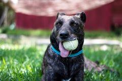 Hond met tennisbal Stock Afbeelding