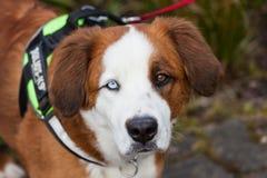 Hond met twee verschillende gekleurde ogen Royalty-vrije Stock Fotografie