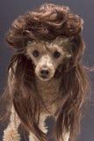Hond met Verticale raamstijl Royalty-vrije Stock Afbeeldingen
