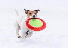 Hond met vliegende schijf die op camera lopen (bevroren niet motie) Royalty-vrije Stock Afbeeldingen