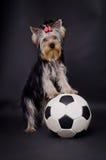 Hond met voetbal stock afbeelding
