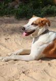 Hond met zijn tong die uit hangt Stock Foto