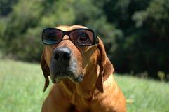 Hond met zonnebril Stock Afbeeldingen