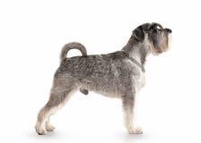 Hond Miniatuurschnauzer op witte achtergrond Stock Afbeelding