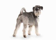 Hond Miniatuurschnauzer op witte achtergrond Royalty-vrije Stock Foto's