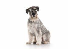 Hond Miniatuurschnauzer op witte achtergrond Stock Foto's