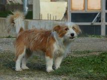 Hond in Montenegro Royalty-vrije Stock Afbeelding