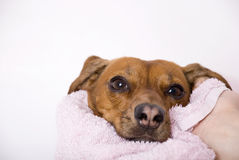 Hond na het bad Stock Foto