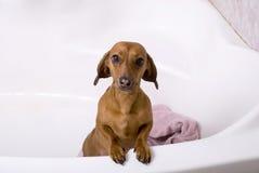 Hond na het bad Royalty-vrije Stock Foto