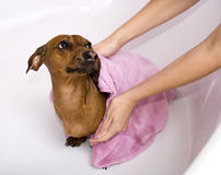 Hond na het bad Stock Afbeelding