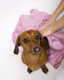 Hond na het bad Stock Foto's