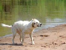 Hond na het zwemmen stock afbeeldingen