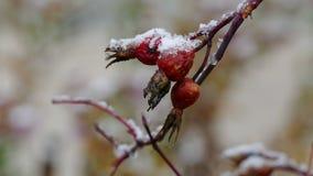 Hond-nam de wilde sneeuw van de de herfstaard ligt op toe stock video