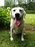 Hond Nana royalty-vrije stock afbeelding