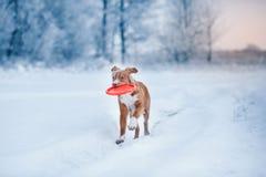 Hond Nova Scotia Duck Tolling Retriever die in de winterpark lopen, die met UFO spelen Royalty-vrije Stock Foto