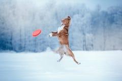 Hond Nova Scotia Duck Tolling Retriever die in de winterpark lopen, die met UFO spelen Royalty-vrije Stock Afbeelding