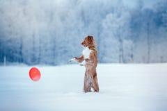 Hond Nova Scotia Duck Tolling Retriever die in de winterpark lopen, die met UFO spelen Stock Foto