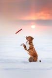 Hond Nova Scotia Duck Tolling Retriever die in de winterpark lopen, die met UFO spelen Stock Foto's
