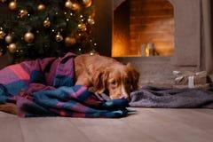 Hond Nova Scotia Duck Tolling Retriever Kerstmisseizoen 2017, nieuw jaar Royalty-vrije Stock Foto